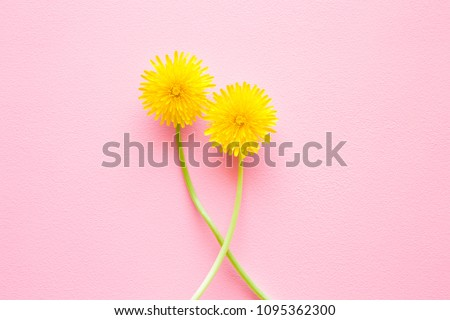 Two bright yellow dandelions bonding together on light pastel pink background. Flirt and love concept. Mockup for positive ideas. Empty place for delicate, emotional or sentimental text or quote.