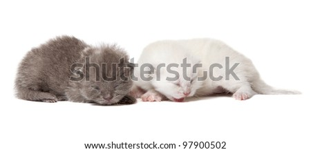 Two british blue shorthair kittens isolated over white background