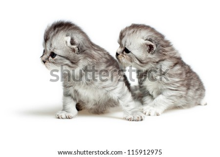 Two British breed kittens is isolated on white background.