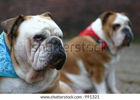 Two british bulldogs. Focus is on the male in front.