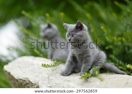 Two British cats looking and posing on the small rock. Couple of adorable small cats.
