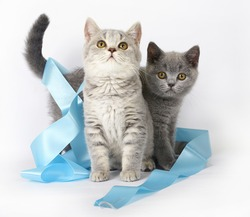 Two British kitten with blue ribbon