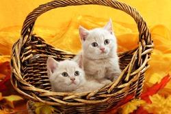 Two british short hair kitten cream in autumn decoration