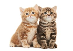 Two british shorthair brown and red kitten cat isolated