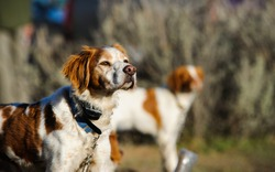 Two Brittany Spaniels out at a bird hunt