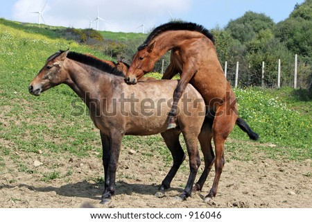 Two brown Andalucian horses mating in a sunny field in Spain