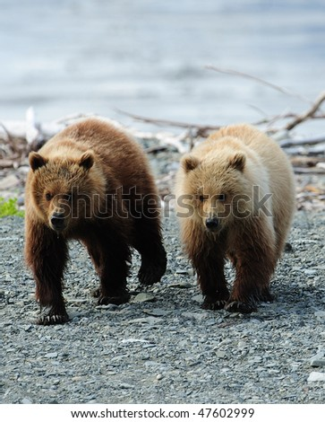 Two brown bear cubs exploring close to their mother.