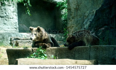 Two brown bear (Ursus arctos) in a zoo rests leaning on a boulder in the sun. The weight varies between 80 and 600 kg. Males are generally 10% larger than females