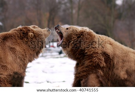 Two brown bears challenging one another
