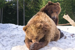 Two brown bears playing outdoors on snow in wild nature forest