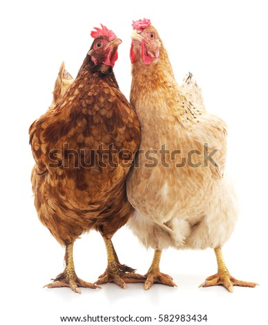 Two brown chickens isolated on white background.
