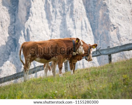 Two brown cows on a pasture in the mountains of the Italian alps in front of a rock wall #1155280300