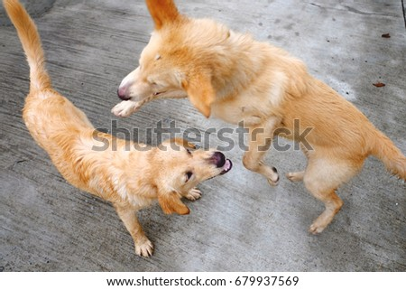 Two brown dog playing together. Two dog fight. #679937569