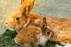 Two brown domestic rabbits sitting in the grass.Little rabbit with mum.Newborn animals and parents.Funny adorable baby rabbit asking for food.Cute young Easter bunny close up.Agricultural scenery