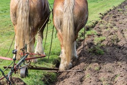 Two brown draft horses with a traditional plough