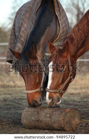 Two brown horses gnawing on the log