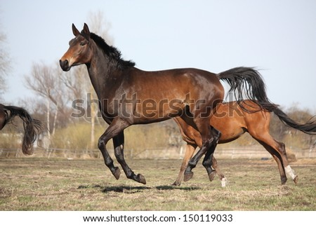 Two brown horses running at the pasture in autumn