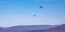 two brown necked ravens Corvus ruficollis soaring on the wind currents over the Makhtesh Ramon crater in the Negev in Israel with a hazy blue sky background