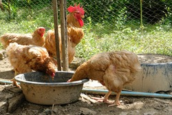 Two brown orange chicken hens drinking water in container on the rural farm in Thailand
