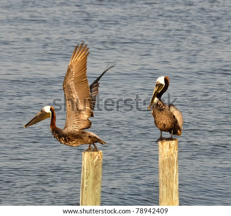 Two brown pelicans (Pelecanus spp.) at Cedar Key, FL