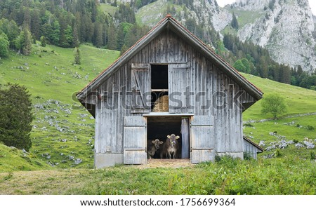 Two brown swiss cows inside a wooden cow barn, looking at the camera, in springtime against the swiss Alpes