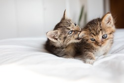 Two brown tabby cats kittens playing and fighting biting on white bed