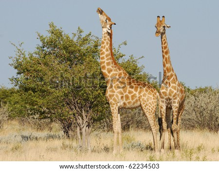 Two Browsing Giraffes