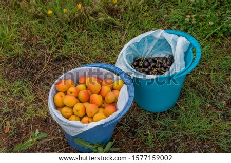 Two buckets with fresh fruits on green grass. Fresh ripe raw apricots and cherries picked in the orchard