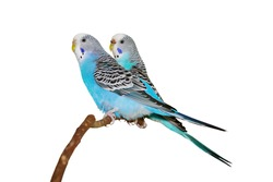 Two budgerigars on a white background.