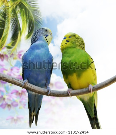 Two Budgerigars Perching On A Branch