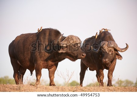 Two Buffalos (Syncerus caffer) close-up with Red-billed Oxpeckers (Buphagus erythrorhynchus) in the wild in South Africa