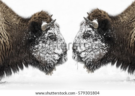 Two Bull Bison (Bison bison) face to face