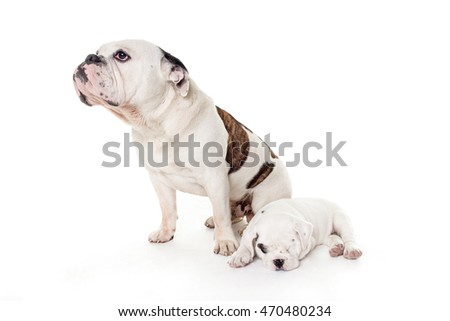 two bull dog in white studio: father and son #470480234