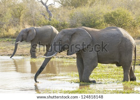 Two Bull elephants drinking water from a natural pan in Kruger Park, South Africa, (Loxodonta africana)