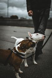 two bull terriers lookup