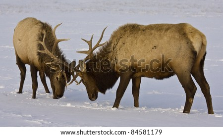 Two bull wapiti / elk (Cervus canadensis) sparring, isolated in snow