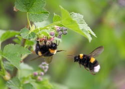 two bumblebee, the first one on a flower, the second in flight, spring 2012, near Moscow, Russia