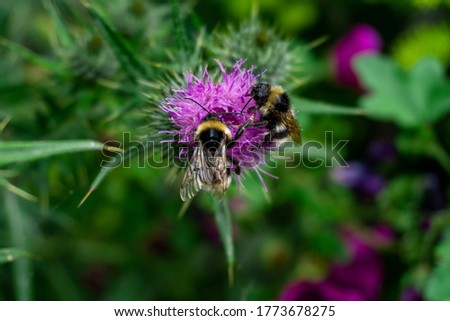 Two Bumblebees Sharing Pollen on a Onopordum Tauricum plant