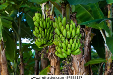 Two bunches of banana growing on a tree.