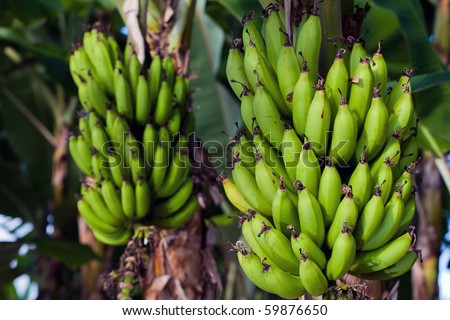 Two bunches of bananas almost ready to pick