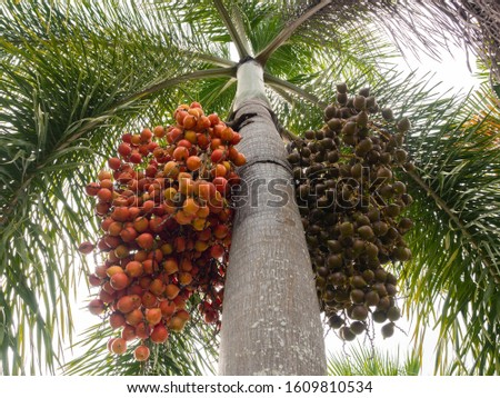 Two bunches of difference color of red and green betel nuts on a tree.