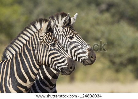 Two Burchell's or plains Zebra (Equus quagga), in South Africa's Kruger park