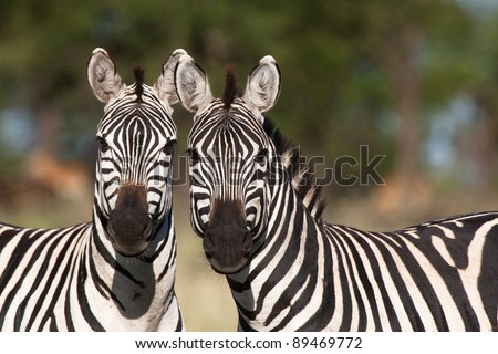 Two burchell's zebras looking straight at the camera