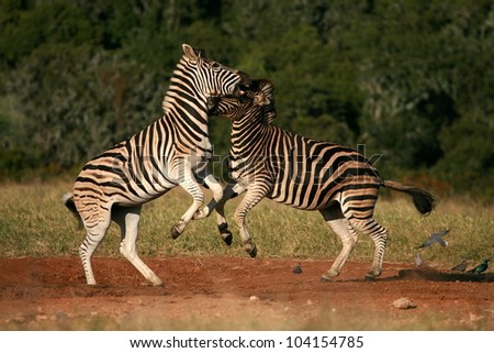 Two burchell zebra fight,kick and bite each other in a dominance battle.Taken while on safari in Addo elephant national park,eastern cape,south africa