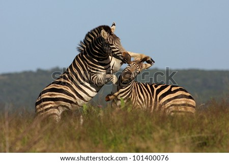 Two burchell zebra fight on the plains of Africa in Addo Elephant Park, Eastern Cape,South Africa