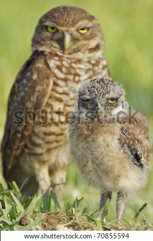 Two Burrowing Owls on ground, mother or father and baby