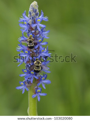 Two busy bumblebees pollinating a purple wild flower near a lake in Vermont.