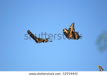 Pictures Of Butterflies Flying. Two utterflies flying
