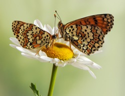 Two butterflies Melitaea sits on a summer morning on a daisy flower