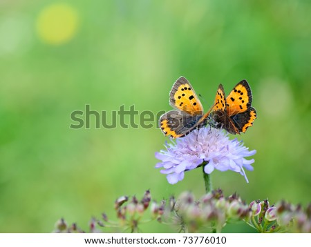 Two butterflies on a little purple flower